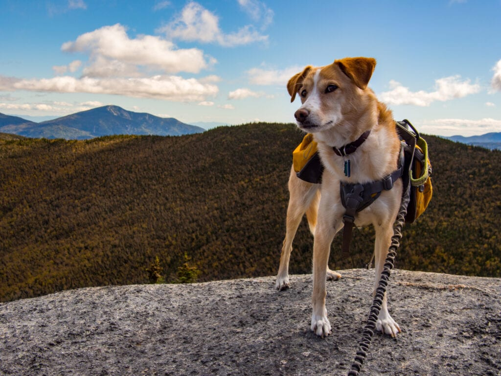 collie cross enjoying hiking with your dog on a bungee leash and wearing a backpack style harness to keep them safe!