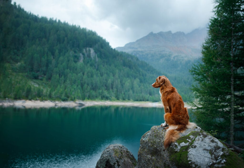Duck tolling retriever sat on a rock looking out over a lake, with trees and misty mountains over the background, safely enjoying hiking with your dog
