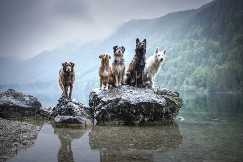 Two german shepherds, two collies and a terrier cross enjoying hiking with your dog