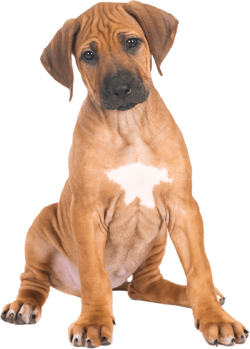 Ridgeback puppy sitting down
