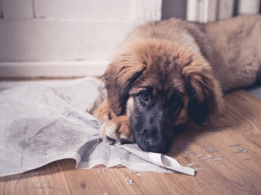 Leonberger puppy not enjoying his puppy pad. Toilet or Potty Training is something that's tough enough, so let's just do it once.