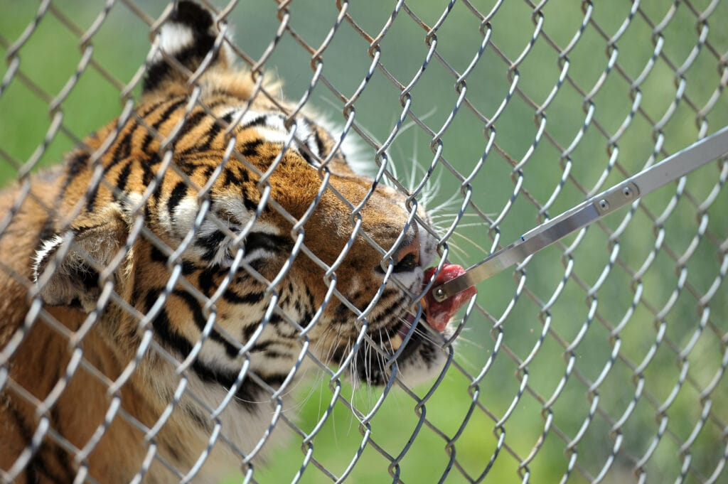 giving tigers treats as a reward through a chainlink fence - positive training achieved! If a tiger can do it - your puppy can too!