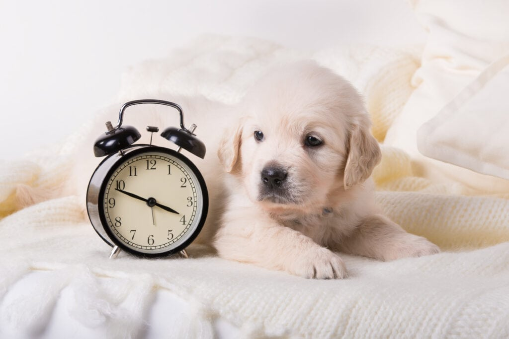 Golden Retriever Puppy by an alarm clock - because knowing the time between toilet breaks is really important too!