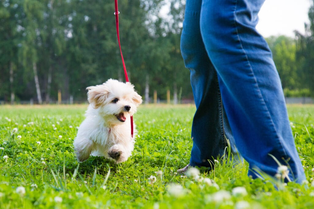 little cavapoo puppy having fun and running around in the garden or yard - do you think puppy will be Tired or Over tired?