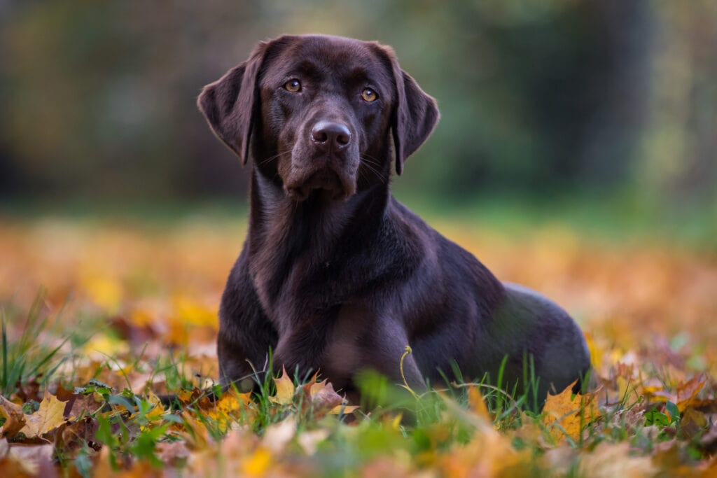 Handsome Labrador who needs to know when the best time to spay or neuter is