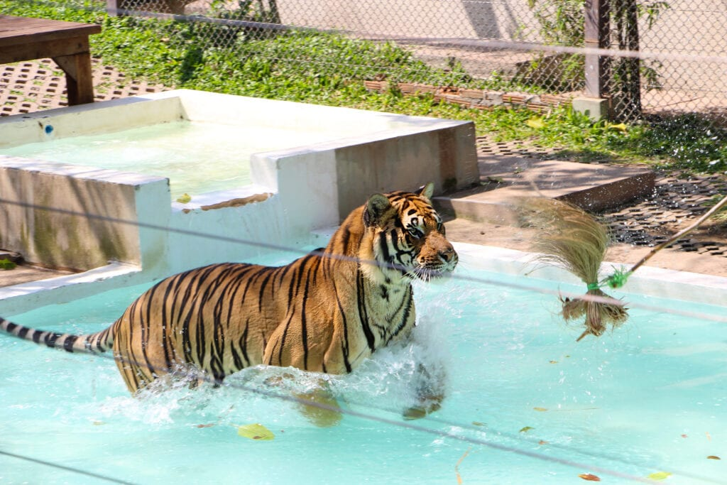 more tiger enrichment with a flirt toy in a pool - talk about fun! Your puppy can do similar, let's just make sure it's age appropriate!