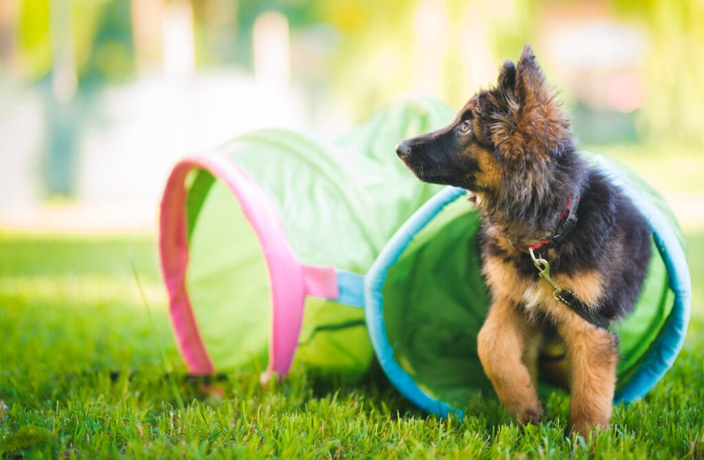 German Shepherd puppy playing with a tunnel, looking for their parent who definitely asked at least one of these questions about crate training.