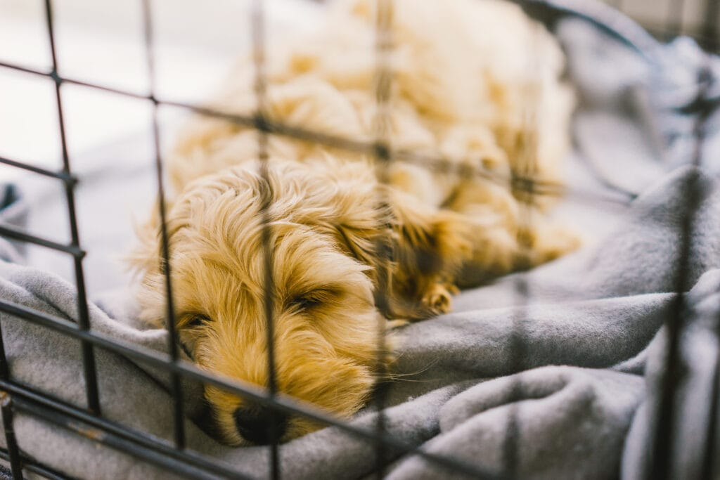 cute cockapoo puppy loving nap in their crate, proud pawrents clearly applied the golden rules!