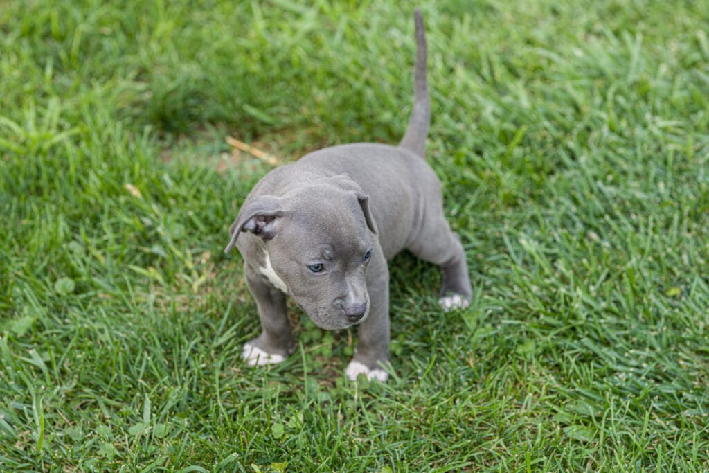 Successful bully puppy learning where to go potty / toilet outside