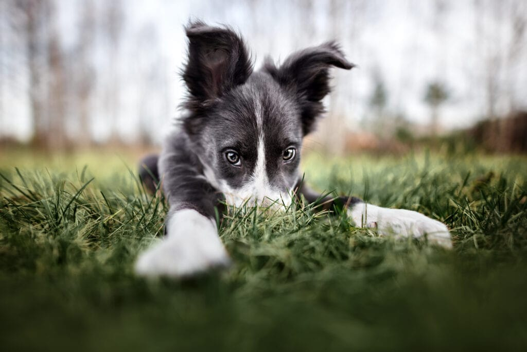 playful border collie puppy in their yard. A cheeky little chap, he's here because he's cute.