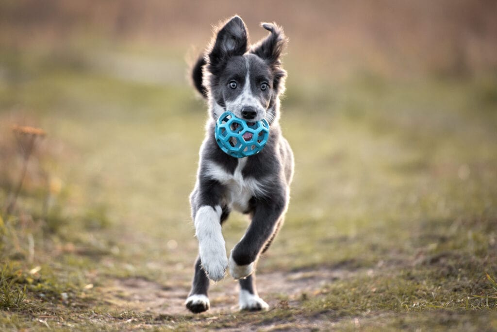 border collie puppy playing with a ball toy! Puppy starter checklist must include toys, right?!