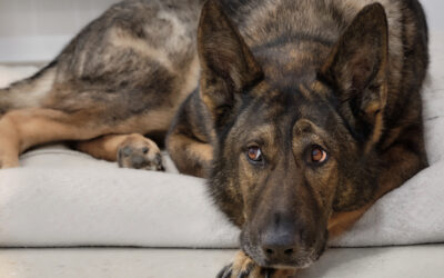 When Is The Best Time To Spay Or Neuter My German Shepherd Dog?