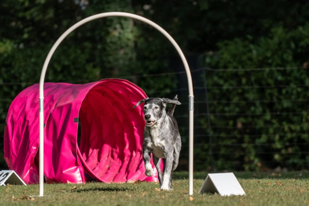 hoopers! A wonderful activity for old puppies, young puppies and all those in between - this is a wonderful low (no) impact version of agility that will work mind and body!