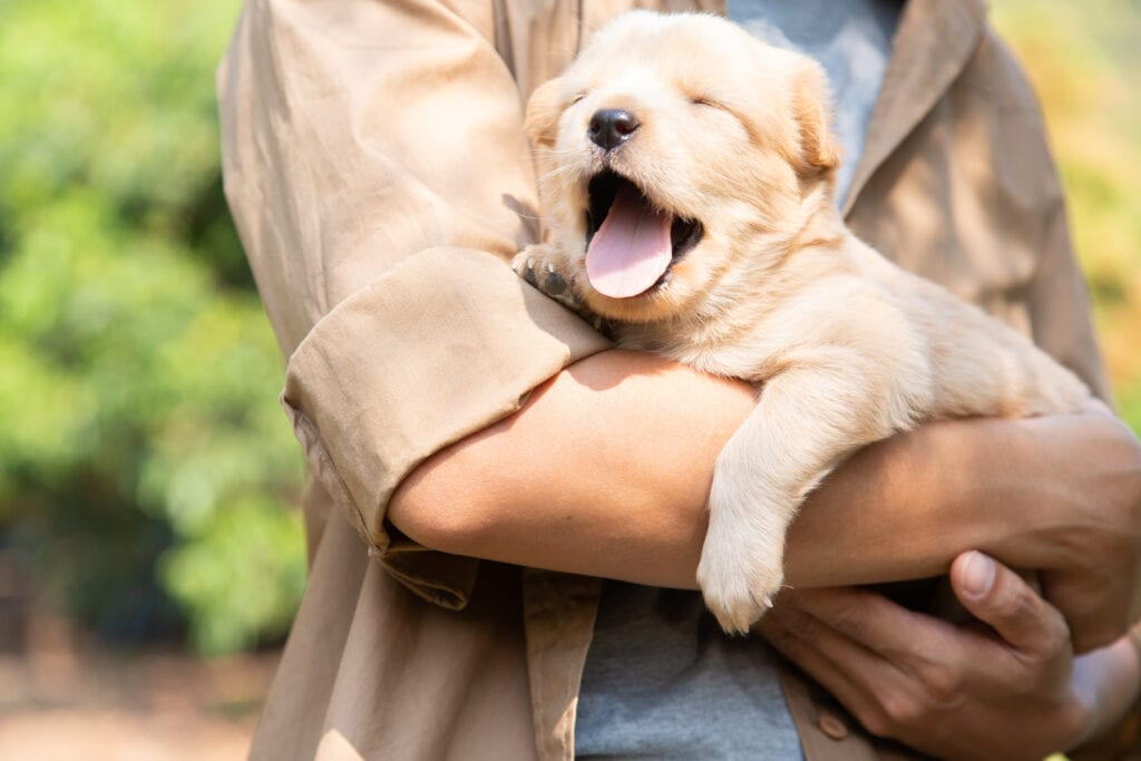 Yawn! Little Labrador puppy is getting sleepy, where do you think she'll sleep? Right there perhaps? Or in her crate?