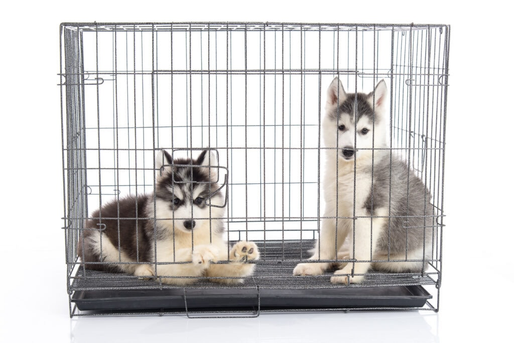 husky and malamute puppy sharing a crate - this is never advisable and goes against the golden rules of crate training, tsk tsk!