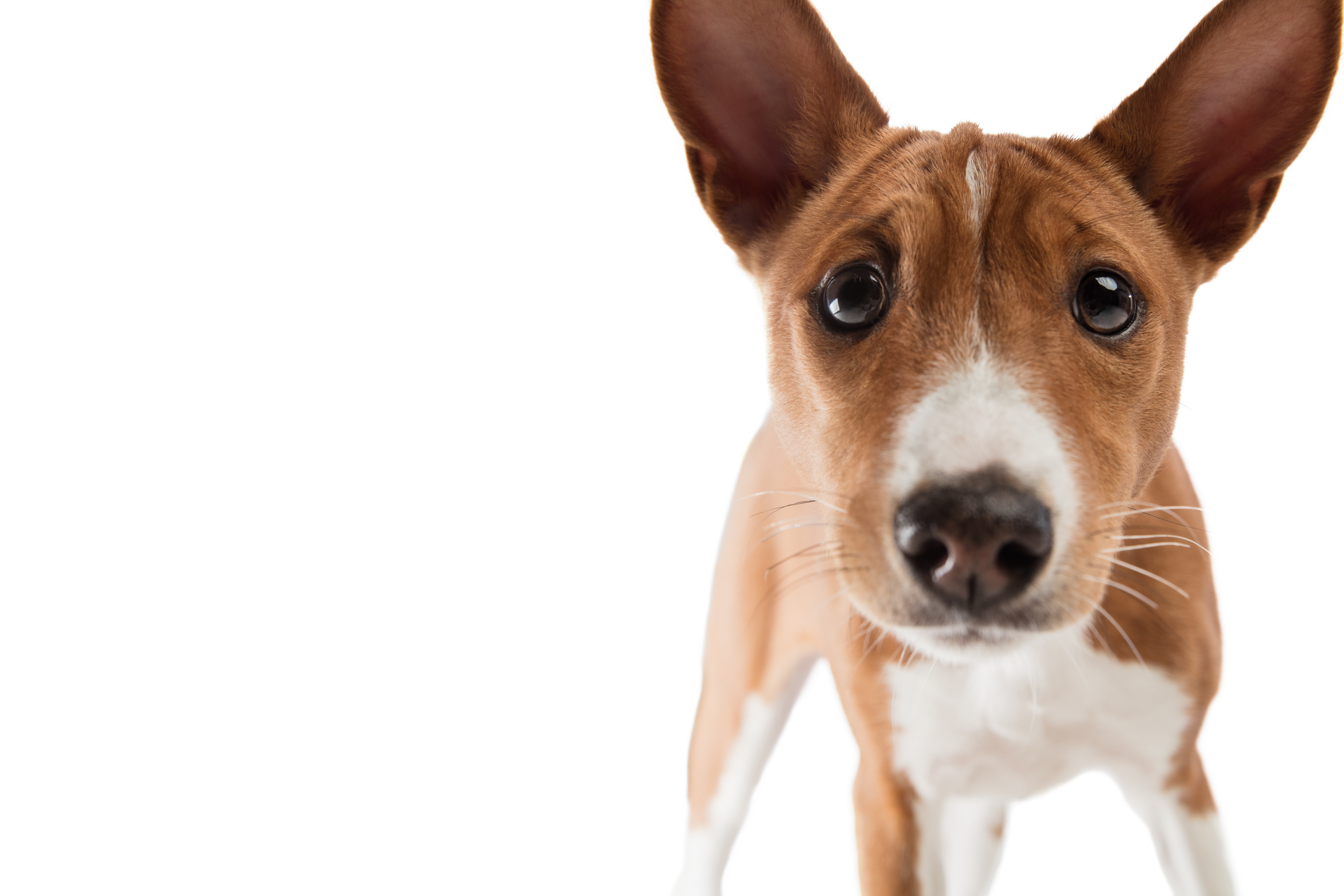 Basenji puppy looking at you! Because you need to go sign up for pupdates. Weekly support straight to your inbox, from the wonderful Ali Smith?! From Crate Training to development, vaccinations to socialisation! Better go, or Basenji will yodel...