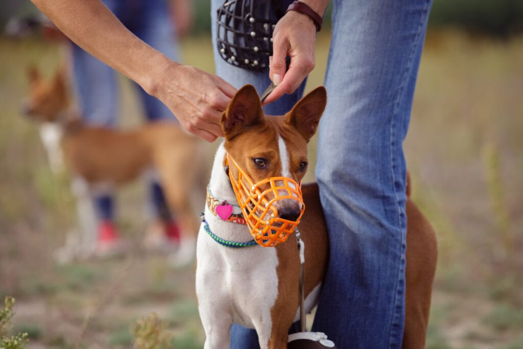muzzle on a basenji, these are great management tools to try and prevent issues from escalating