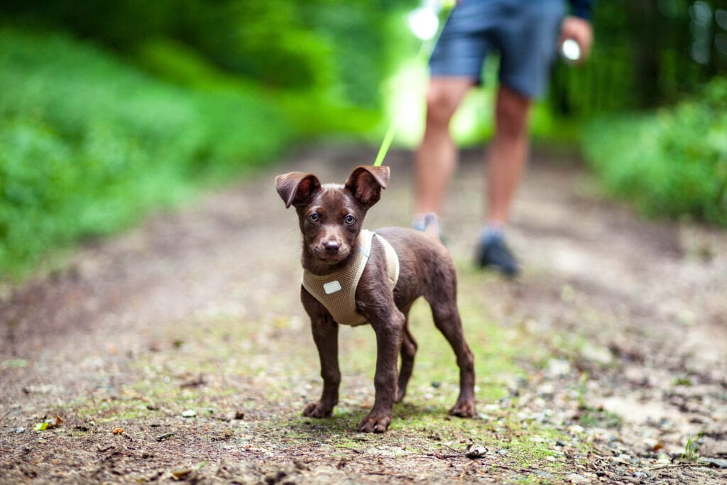 practice with a long line on a local trail, do you think this puppy will respond to her parent's recall?