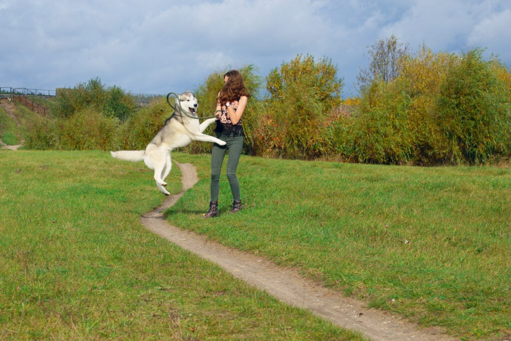 husky leaping at person in a park