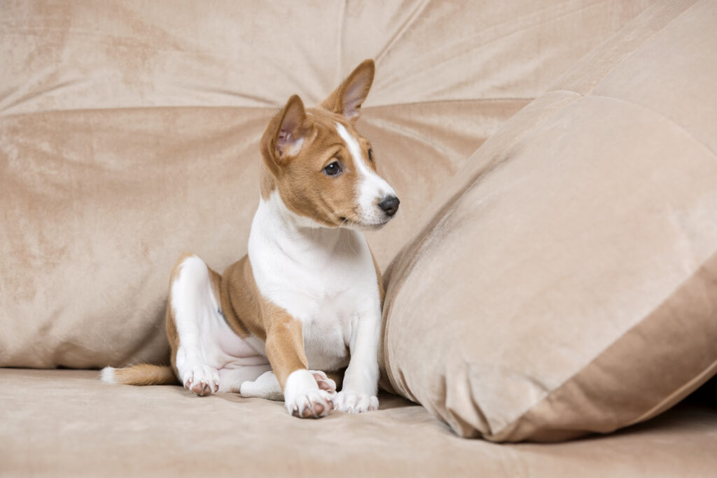 Adorable Basenji puppy who's just come home, Basenji puppy owners might find that understanding the breed was the difficulty