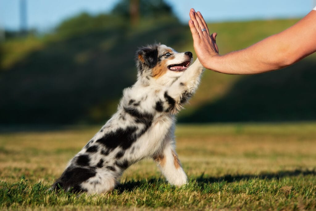 aussie shepherd puppy high fiving owner, because they're making the best team!