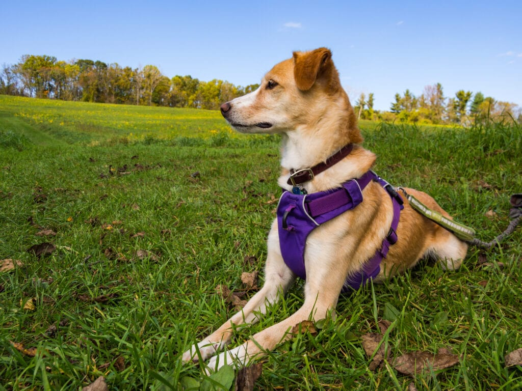 Ruffwear Front Range harness is a wonderful example of a front clip harness. Something I used with my reactive dog whilst we were learning.