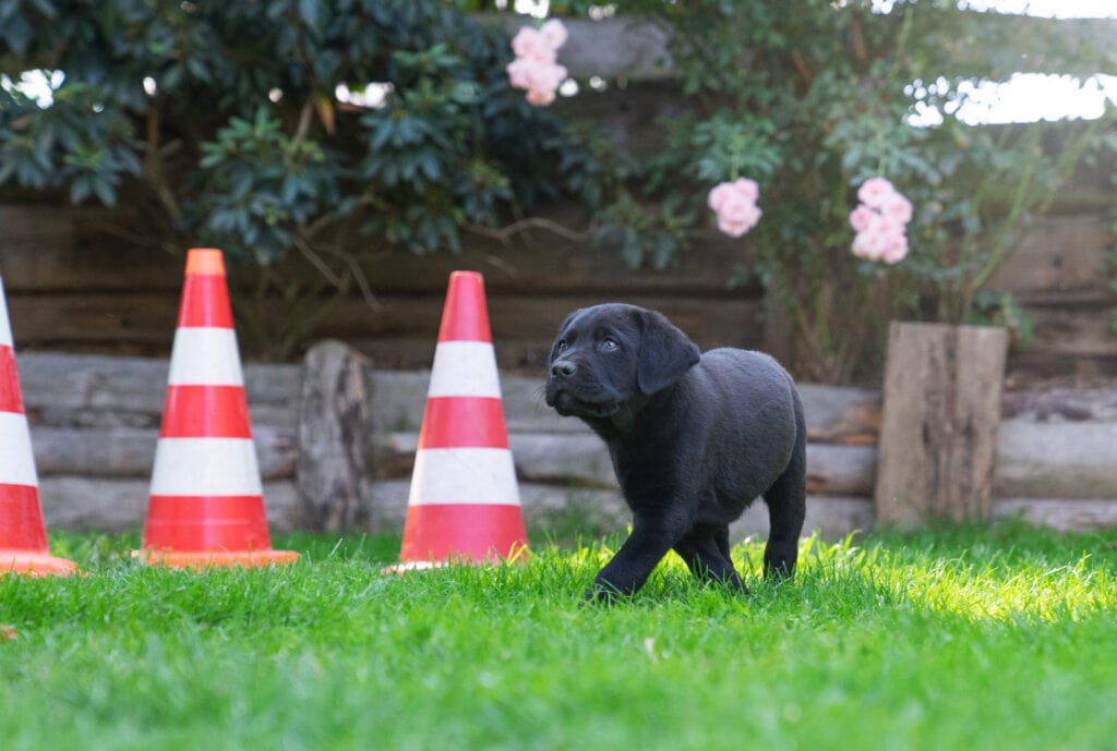 labrador puppy learning some base level agility training in her back yard in a private session