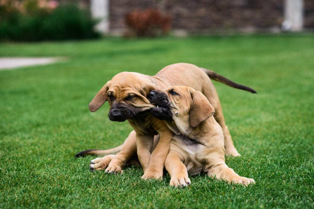 mastiff puppies chewing on one another. Sometimes your siblings make the best chew toys and play mates