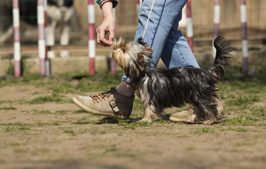 yourkshire terrier at puppy classes with parent