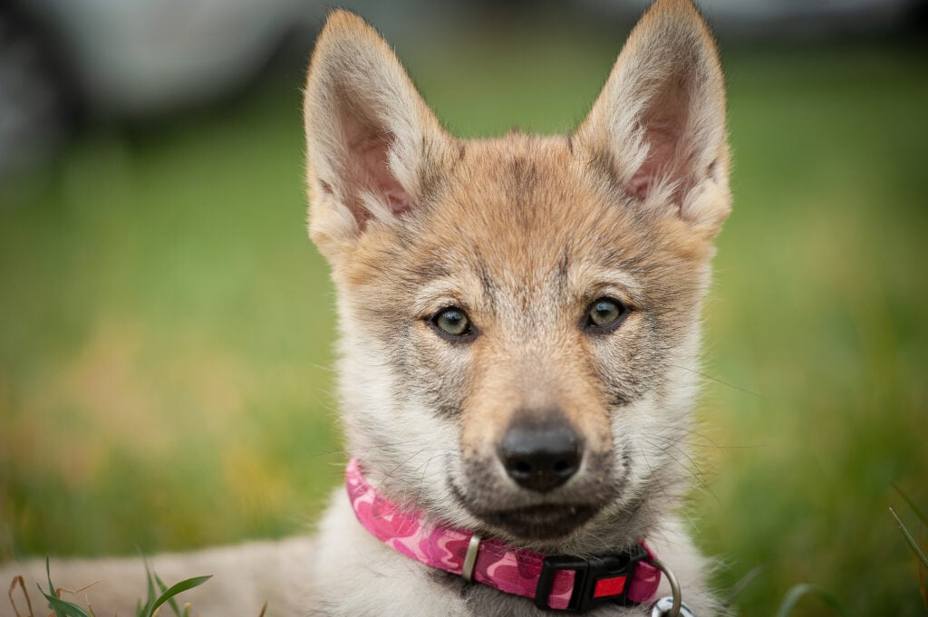 little tamaskan wolfdog puppy wants to know when you're taking her for training, because she deserves it.
