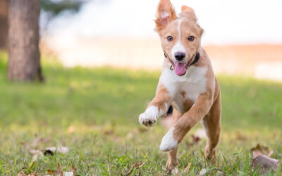 Achieving Recall – How To Get Your Puppy To Come When Called in 6 Easy Steps!