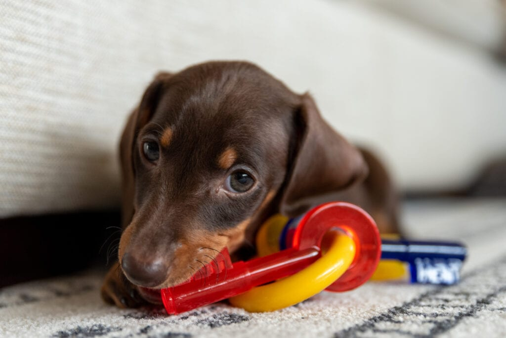 The cutest little keyholder! Really wouldn't suggest a dog as your responsible keyholder, humans are probably better for this position within your puppy support network.