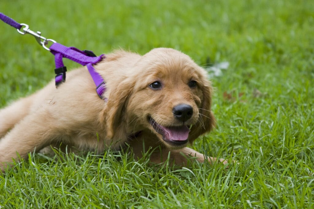pulling golden retriever puppy that was desperate to get to a smell the 3D's were employed to help little puppy cope and learn to walk loose leash