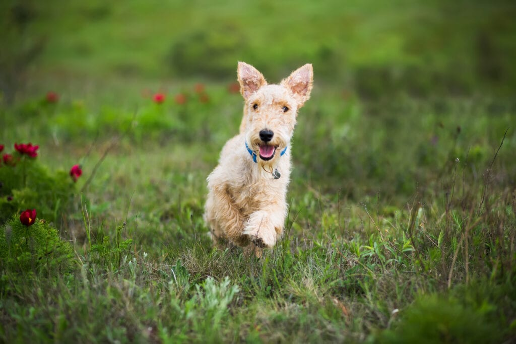 terrier puppy running towards you on their recall that you've aced because you've practiced