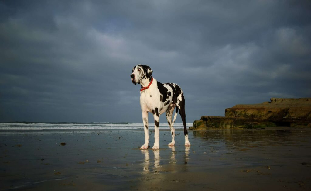 Great Dane on a beach, when should you spay or neuter your great dane?