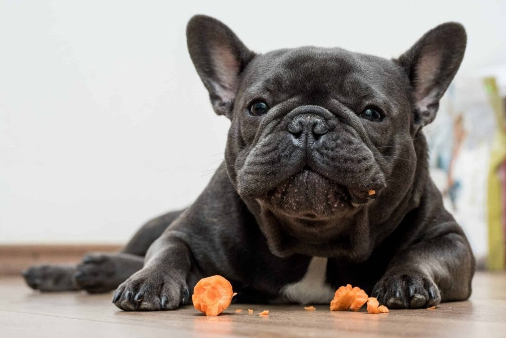frenchie and carrot, a wonderful healthy treat to help the little guy feel rewarded but with a healthy reward