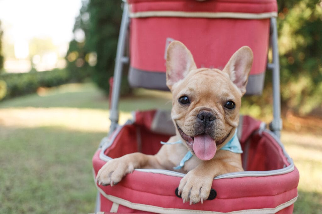 frenchie puppy experiencing the world from the safety of a stroller
