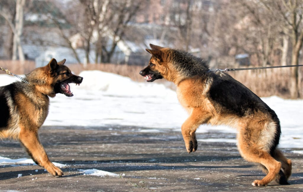 reactive german shepherds acting aggressively towards one another.