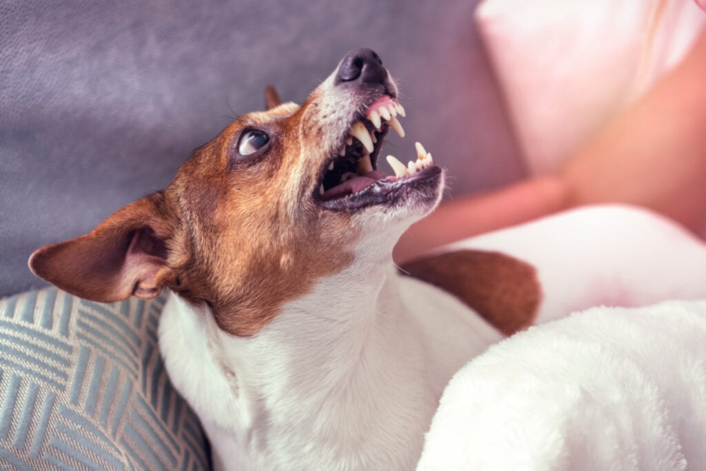 jack russell terrier showing final warning signs that they are not happy with the scenario, next step is likely to be a bite...