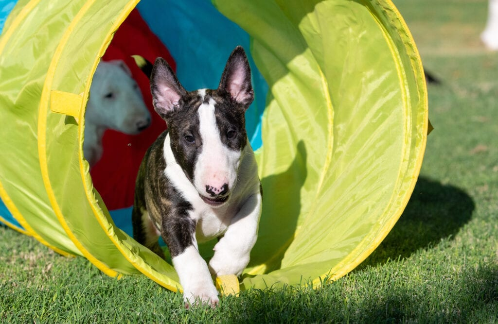 English Bull Terrier puppy learning to confidently go through a tunnel