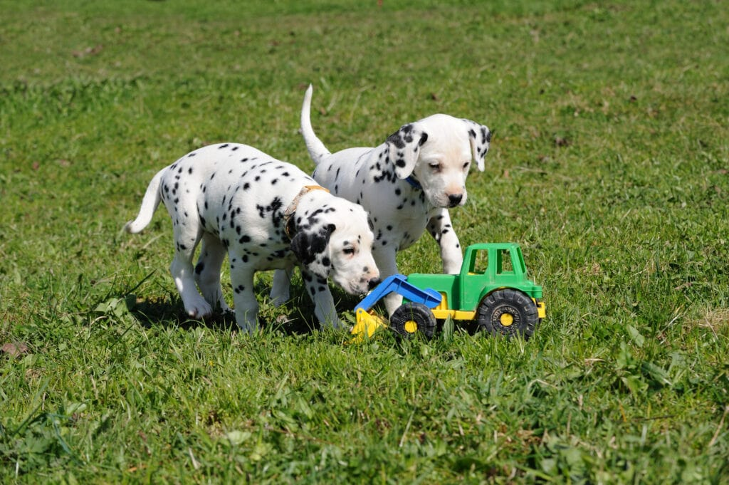 Dalmatian puppies experiencing a new toy cautiously.