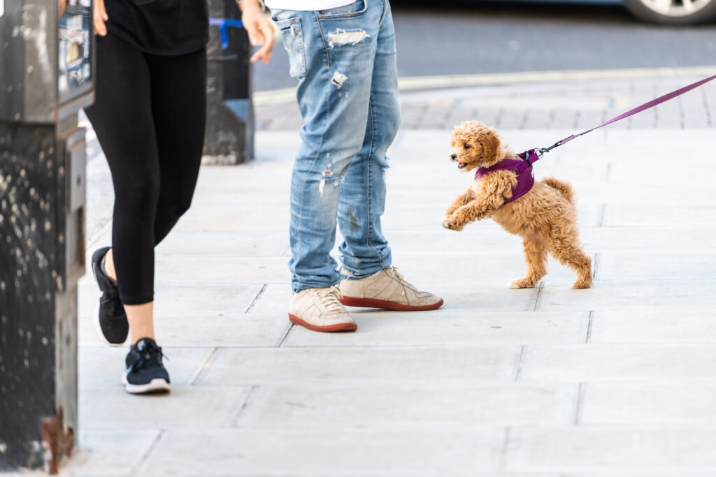 cockapoo puppy socializing with people