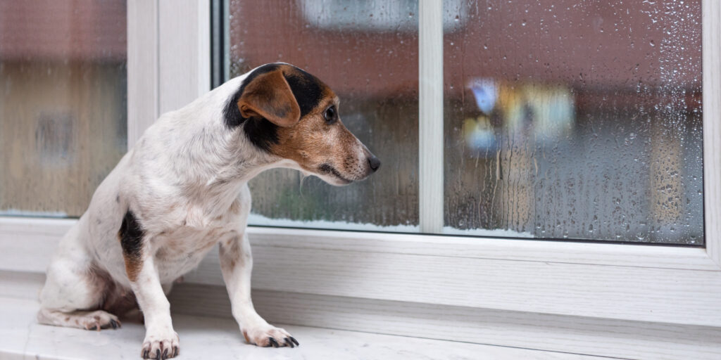 seperation anxiety in a terrier as they stare out of a rainy window for their pawrent to return