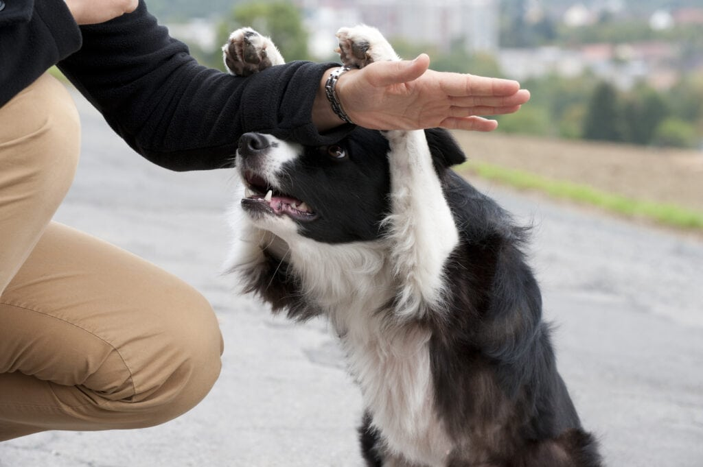 you can learn all sorts of things with dog training (whether it's online training or in person training), like this border collie is learning a new trick!