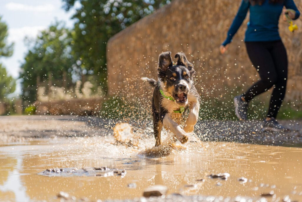 crazy collie puppy loving the socializing experience of a puddle!