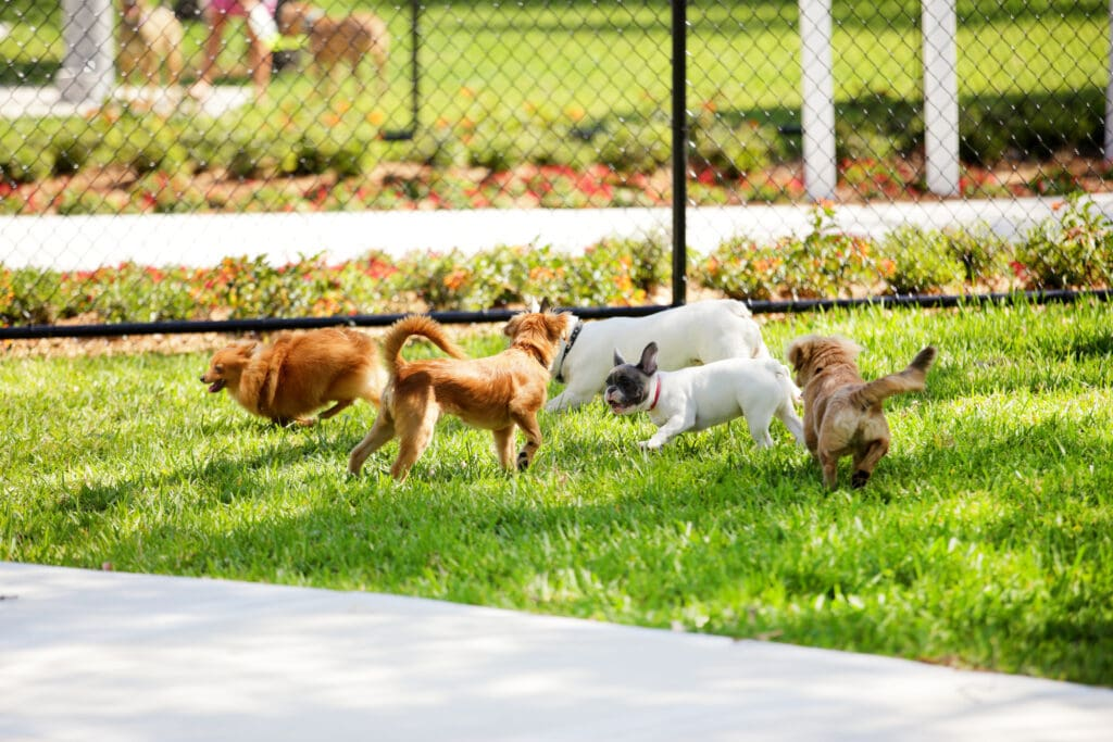 lots of small dogs playing, and seemingly quite nicely! This might be a nice spot to include a puppy for a little socialization