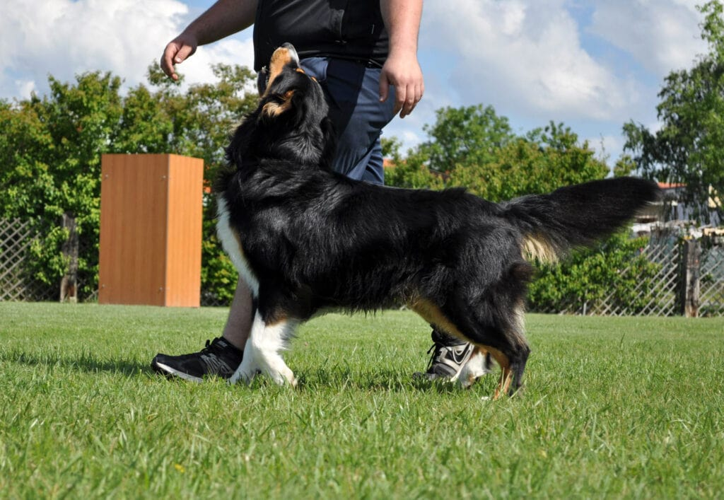in person dog training can be very successful, as shown by this be very successful, as shown by this bernese and his paw-rent