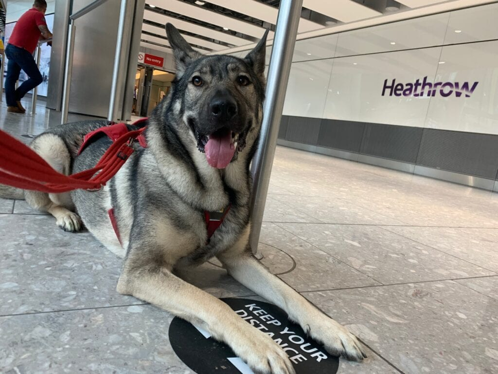 Indie my German Shepherd cross at Heathrow Airport, this was socializing and desensitizing him to the environment before the journey