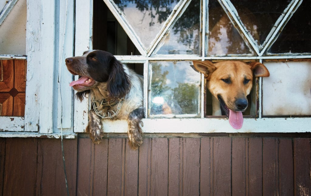 two dogs with their heads out of windows, prong collar on spaniel