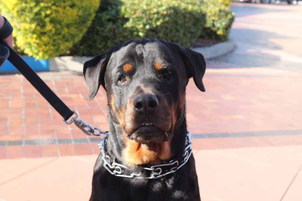 a rather sad looking rottweiler wearing a prong collar